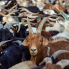 Second outbreak of ovine rinderpest reported in Iran