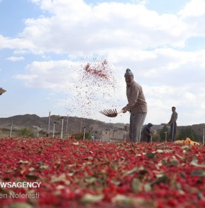 Mehr News Agency - Barberry harvest in South Khorasan province
