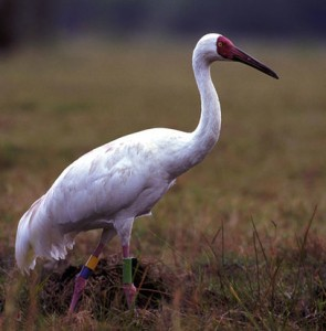 Lonely Siberian crane 'Hope' returns to Fereydunkenar