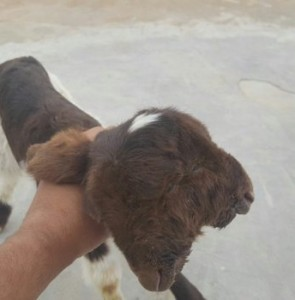 VIDEO: Two-headed lamb born in Iran
