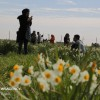 Mehr News Agency - Farmers collect daffodils in Fars province