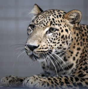 Persian leopard to undergo artificial insemination in Tehran next week