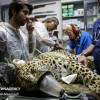 Mehr News Agency - Persian leopard undergoes artificial insemination