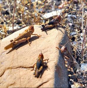 $2.3m earmarked for fighting locusts in southeastern Iran