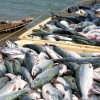 Fishery output anticipated to reach 455,000 tons by March 2020