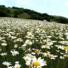Ardebil prov. to host 'National Festival of Chamomile Flowers'