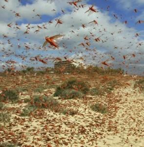 FAO warns of another desert locust breakout in Iran