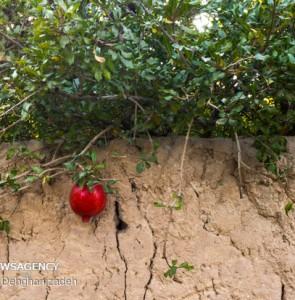 Mehr News Agency - 1st Pomegranate Festival in Mehriz