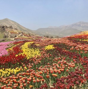 Dutch envoy visits tulips field near Tehran, calls it 'breathtaking'
