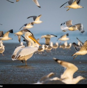 Migratory birds wintering in northern Iran increased by 30%