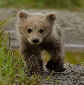 VIDEO: Brown bear cub treated, returned to nature
