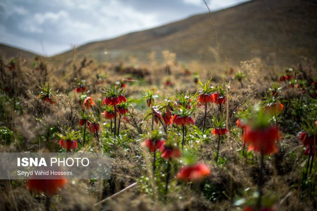 Iran's Beauties in Photos: Upside-Down Tulips